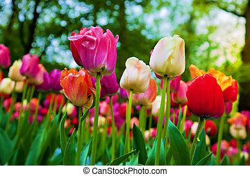 skoczcie kwiecie, park, barwny, tulipan