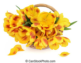 skoczcie kwiecie, tulipan