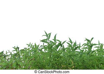 soczysty, odizolowany, krzak, zielone tło, biały, trawa