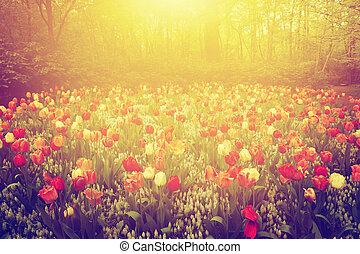 spring., ogród, barwny, rocznik wina, słoneczny, tulipan, kwiaty, dzień