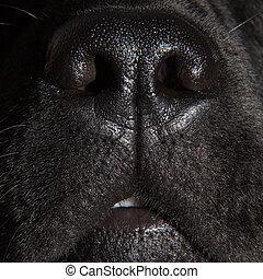 sprytny, labrador, pies, czarnoskóry, nos, aporter