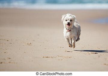 sprytny, pies, skokowy, mały, plaża, piaszczysty