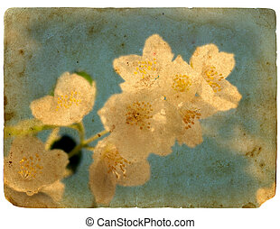 stary, postcard., rozkwiecony, jasmine., kwiat