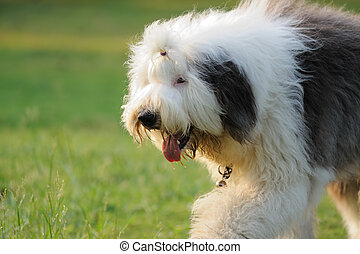 stary, sheepdog, angielski