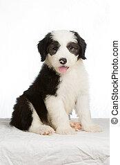 stary, sheepdog, tło, angielski, biały, szczeniak