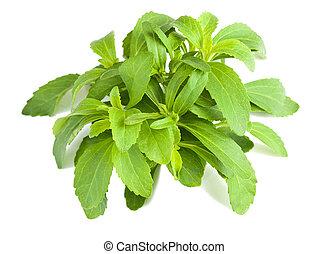 stevia, grono