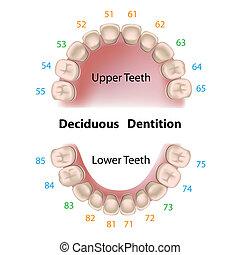 stomatologiczny, mleczny, notacja, zęby