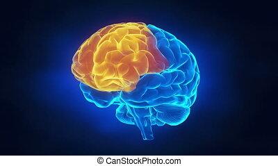 strony, ludzki mózg