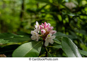 strumienica, kwiat, rododendron