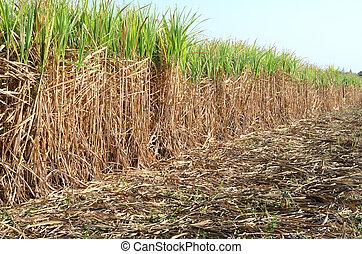 sugarcane, okolica, thailand.