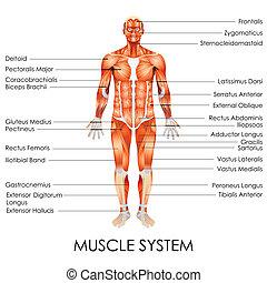 system, muskularny