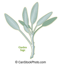 szałwia, ziele ogród