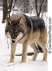 szary wilk, europejczyk