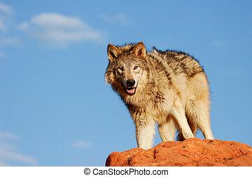 szary wilk, lupus), (canis