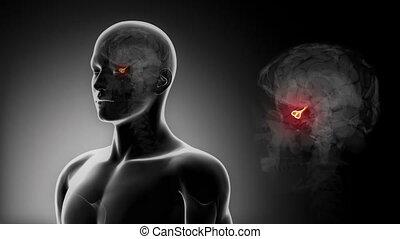 szczegółowy, view-, przysadkowy, samiec, mózg