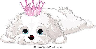 szczeniak, havanese, korona