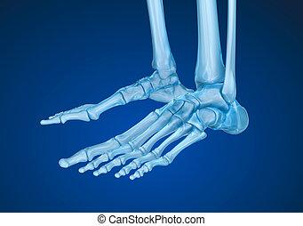 szkieletowy, dokładny, ilustracja, medically, skeleton:, ludzki, foot., 3d