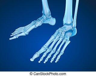 szkieletowy, dokładny, ilustracja, medically, stopa, 3d