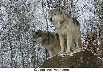 toczeń, szary wilk, canis