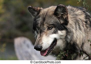 toczeń, wilk, szary, canis