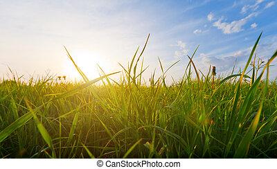 trawa, zachód słońca