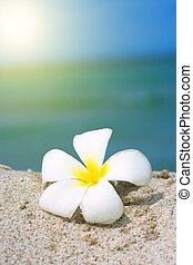 tropikalny kwiat, plaża, plumeria