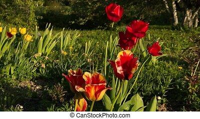 tulipany, przenosić, czerwony, wiatr, 4k, video