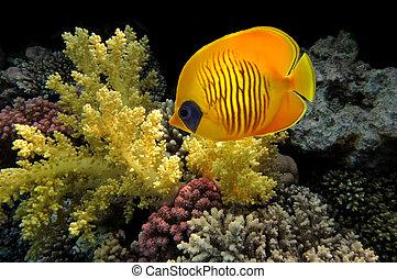 underwater życie, hard-coral, egipt, morze, czerwony, rafa