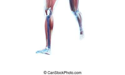 uprawiający jogging, widoczny, mięśnie
