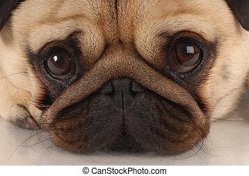 viewer, do góry szczelnie, pies, patrząc, mops