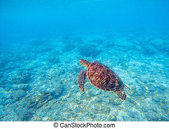 water., reef., podwodny, photo., żółw, morski żółw, marynarka, zielony, zwierzę, oliwka, koral