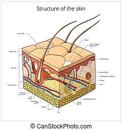 wektor, budowa, ilustracja, skóra