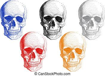 wektor, komplet, czaszki, ludzki