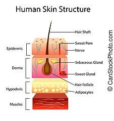 wektor, ludzka skóra, budowa, ilustracja