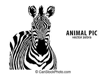 wektor, zebra