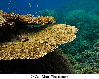 wielki, australia, bariera, koral, kolonia, rafa