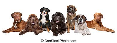 wielki, cielna, grupa, psy