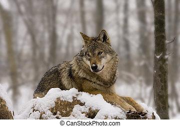 wilk, podobny, diorama, europejczyk