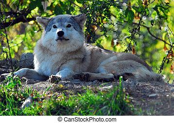 wilk, szary, lupus), (canis