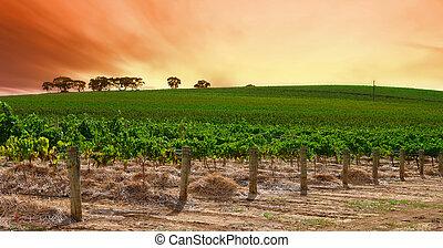 winnica, kołyszący, zachód słońca