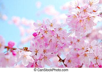 wiosna, podczas, kwiaty, wiśnia