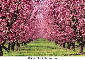 wiosna, sad, wiśnia