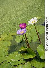 woda, albo, stawowa lilia, kwiaty, kwiaty, rozkwiecony, lotos