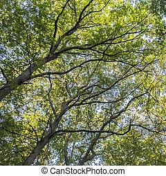 wysoki, krótkotrwały, las, drzewa