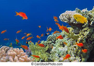 wystrzelić, podwodny, żywy, koral, egypt., ryby, rafa, morze, czerwony