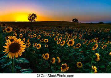 zachód słońca, słoneczniki, backlit