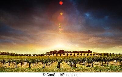 zachód słońca, winorośle