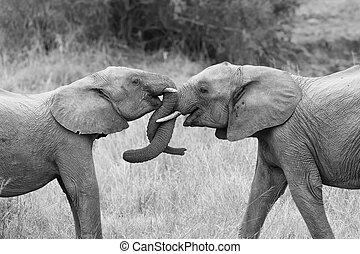 zamiana, pnie, curling, dwa, powitać, dotykanie, artystyczny, słoń