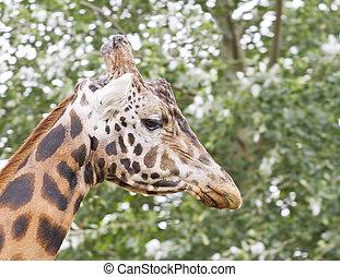 zamknięcie, głowa, żyrafa, wizerunek, do góry