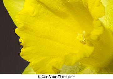 zamknięcie, wizerunek, żonkil, do góry, żółty